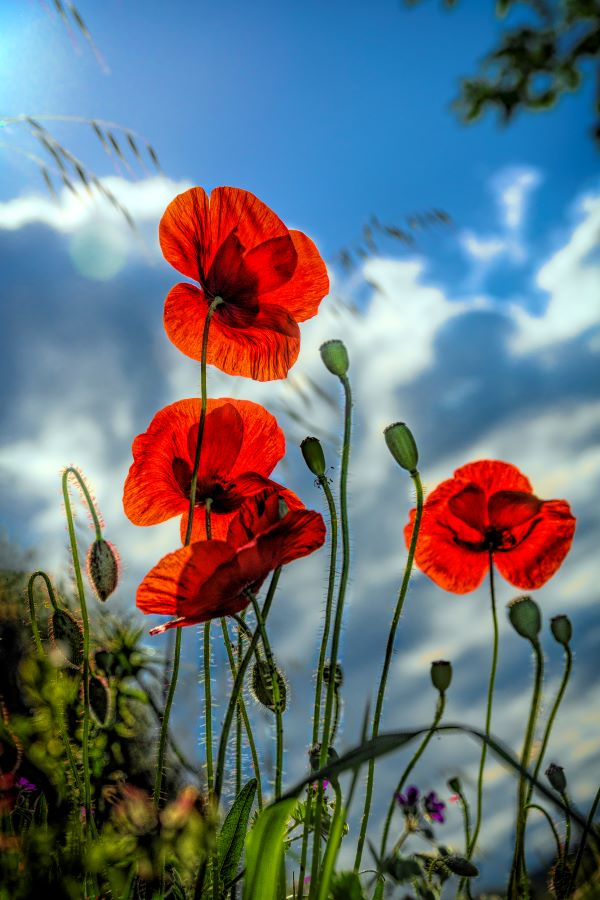 11 Poppies Mark